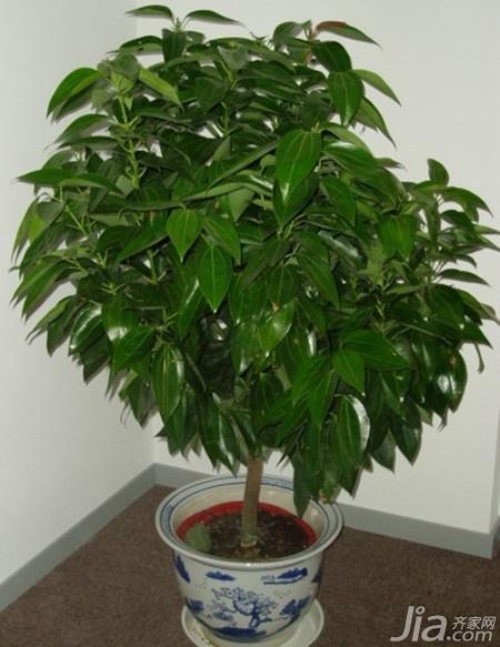 家居风水必备招财树 招财树的养殖方法你了解吗