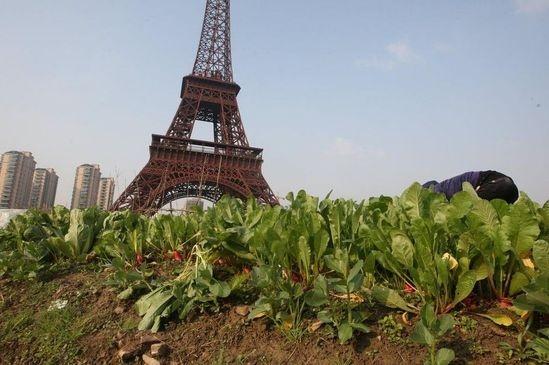 2014年12月04日,浙江省杭州市山寨版的巴黎城在杭州市郊屹立,这座铁塔总高108米,按照法国原版艾菲尔铁塔三比一的比例建造而成,建筑结构与法国那座塔保持一致。在埃菲尔铁塔下面,不仅居住着数十万身价2百万的以上普通居民,也住着近千名外来打工(以建筑工人为主)。塔下不仅有宫廷式大广场、法式喷泉,及成片成片的德国风格的城堡,也有近百亩的菜地,这些菜地被分割成数以千计的小块。菜地的主人,有外来工,更多的是住在高楼里的有钱人。图为高楼里的沈阿姨(江苏人)正在采摘自己种植的青菜。