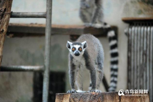 春节期间,青岛动物园游客爆棚,因今年是猴年,不少游客专程来动物园看