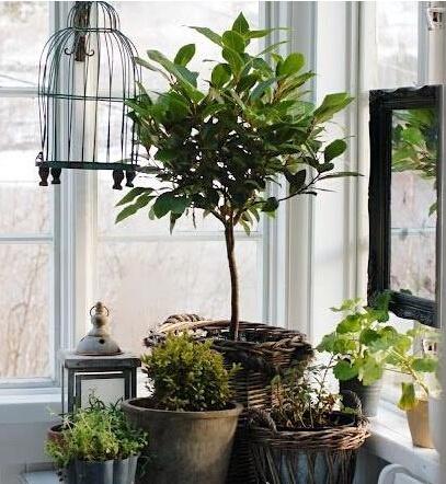 所以紅黃色的盆栽植物才適合客廳擺放